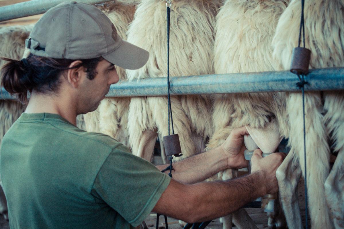 Making of - Pecorino Toscano PDO